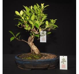 Bonsai Ficus Retusa 34cm High