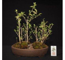 Bonsai Ligustrum Forest...