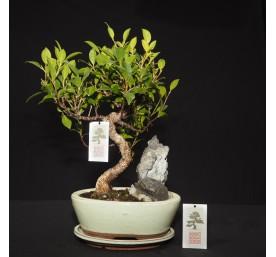 Bonsai Ficus Retusa 31cm High