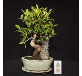 Bonsai Ficus Retusa 33cm High