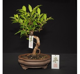 Bonsai Ficus Retusa 30cm High