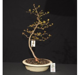 Bonsai Chinese Crab Apple...
