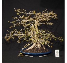 Bonsai Hawthorn 55cm High