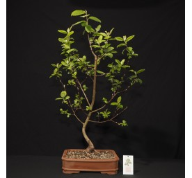 Bonsai Willow 60cm