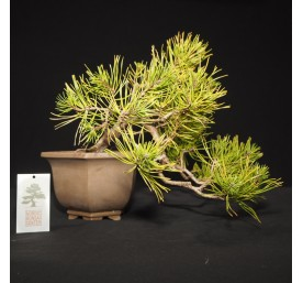 Bonsai Mugo Pine