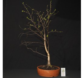 Bonsai Silver Birch 68cm