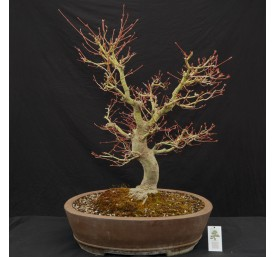 Bonsai Acer 60cm High