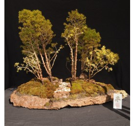 Bonsai Spruce Forest 40cm High