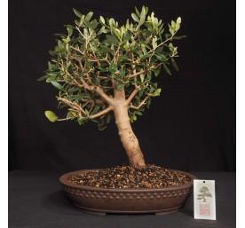 Bonsai Olive 44cm High